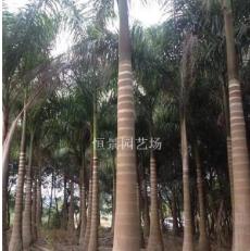 大王椰子(大王棕)棕榈科大王椰子价格咨询