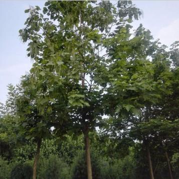 山东五岳园林市政 基地种植 厂家直销 8公分 梓树