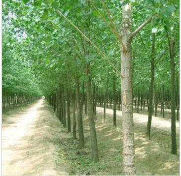 意杨 速生杨 防护林基地 绿化苗木基地