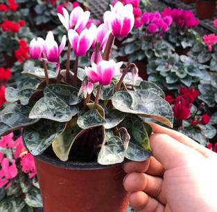 仙客来盆栽批发室内观花植物仙客来盆栽花卉多款颜色去甲醛净空气