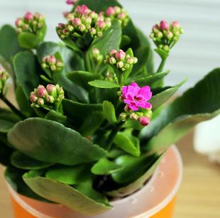 长寿花重瓣多色花苗盆景花卉室内桌面盆栽观花多肉植物四季开花