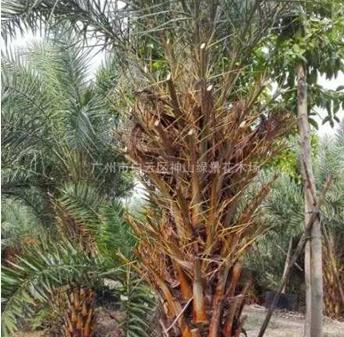 广州地区供应杆高0.5~3.0米银海枣树15000棵