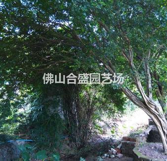 庭院九里香