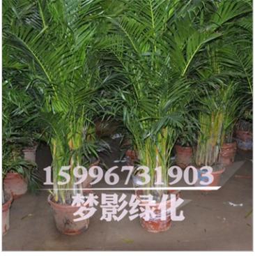 客厅室内 盆栽绿植花卉绿化 植物盆景 凤尾竹 量大优惠 价格从优