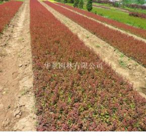 30-60公分高紫叶小檗的市场价格
