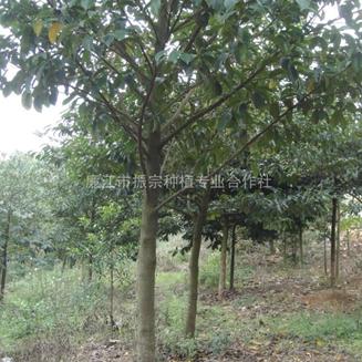 供 桂木 (狗果树、红桂木、大叶胭脂)