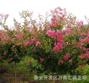 百日红树苗 供应优质工程绿化用百日红树苗 规格齐全