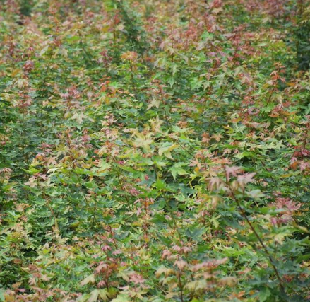 盛世美景彩叶苗木 供应北美枫香绿化苗木花卉植物批发
