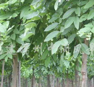 黄花腊肠树