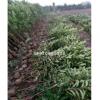 江西法国冬青农户种植,南昌法国冬青高度50-3.5米
