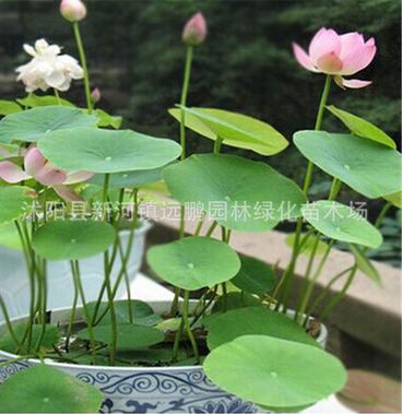 批发水培植物(碗莲种子)多色混合荷花种子莲花种子水生植物花卉