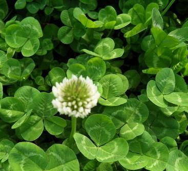 优质批发白三叶种子 白三叶净籽白三叶包衣种子 绿化草坪种子