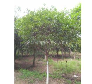 四川泸州17公分幸福树