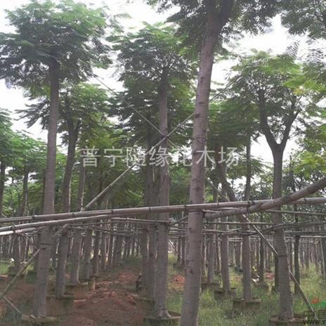 随缘花木场供应特价10-50公分凤凰木地苗袋苗