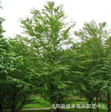 基地直销连香树 工程绿化苗木 连香树小苗规格齐全
