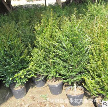 厂家直供南方红豆杉 室内红豆杉盆栽植物 可净化空气 常绿树苗