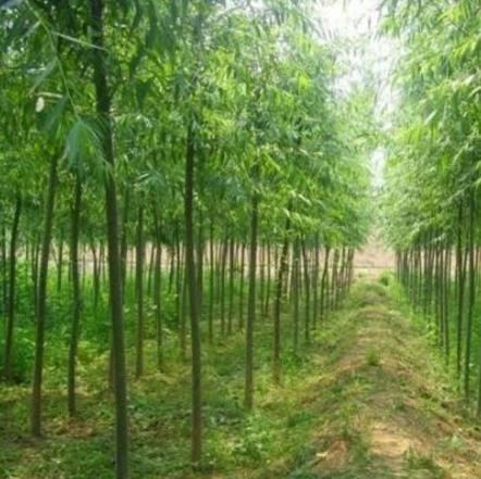 合水县兴园绿化 旱柳3-6cm胸径