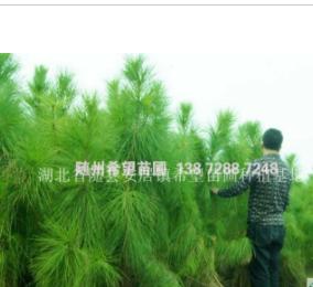 湖北随州首选 潍坊湿地松价格湿地松供应