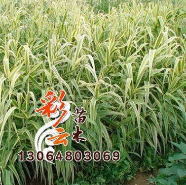 供应水生植物-花叶芦苇,又名斑叶芦竹,彩叶芦竹