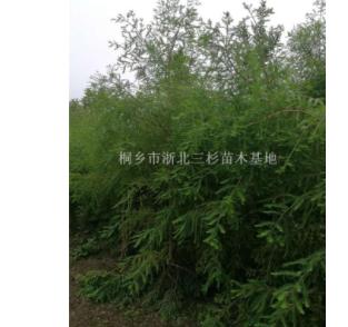 浙江嘉兴长年供应2-15cm中山杉、墨西哥落羽杉