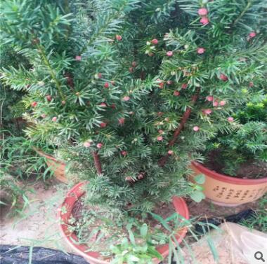 山东园艺场出售优质品种红豆杉 适合盆栽
