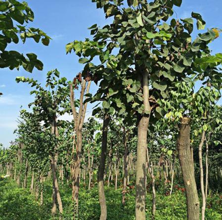 巨紫荆 苗木之乡—河南鄢陵基地直供 规格齐全