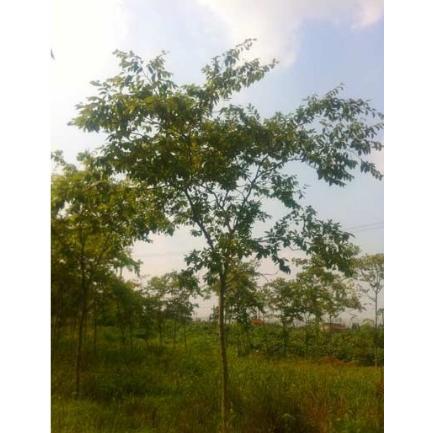 苗木销售产品:种名:珊瑚朴 别名:棠壳子树