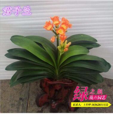 特价批发 室内绿植君子兰 办公室盆栽优质君子兰盆栽量大优惠