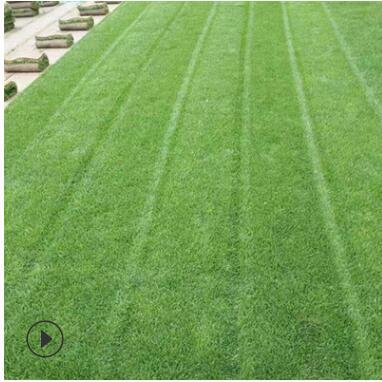 高尔夫球场果岭草坪带泥328果岭草皮免修剪耐践踏绿化草坪