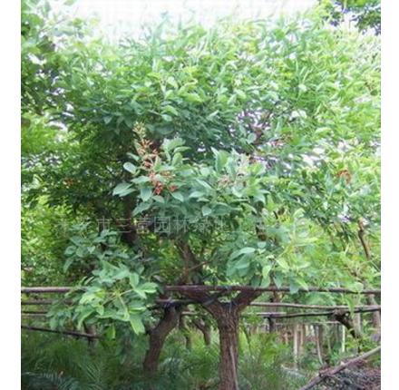 绿化苗木 鸡冠刺桐