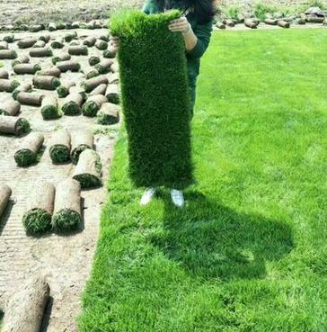 长沙兰引三号草皮草坪草毯基地直销足平方
