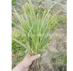 常年供应崂峪苔草