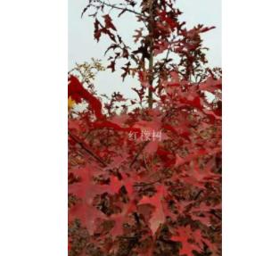 供应1到5公分优质欧洲北美红栎