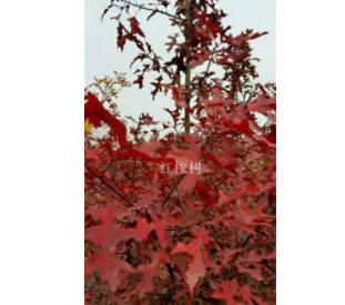 美国红栎(红橡)一到六公分米径
