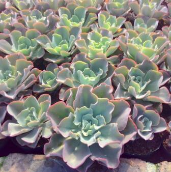 漳州多肉植物批发 高沙之翁 约9-12cm 绿植盆栽园艺盆景花卉