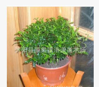 盆栽花卉 盆景 清香木 驱蚊净化空气