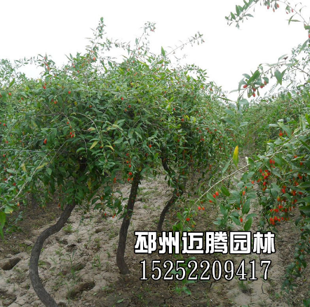 枸杞树桩 枸杞盆景 枸杞树苗植物 地景大树 盆栽 易成活 药性植物