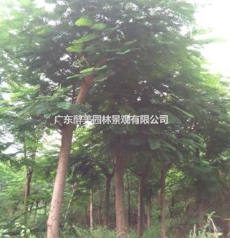广东地区供应15-26分凤凰木假植苗