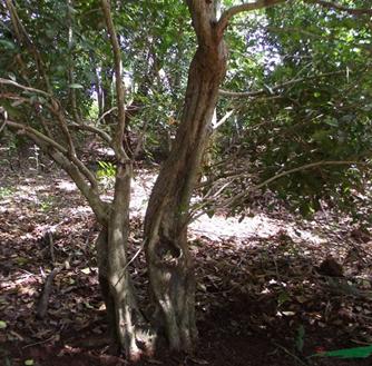 广东正宗九里香 九里香盆景树 盆景桩头 大量供应 绿化树
