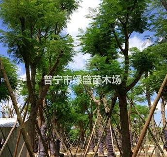 广东普宁地区供应5-40公分凤凰木