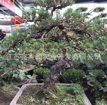 基地直销大型五针松盆景造型树庭院别墅绿化苗木规格全量大从优