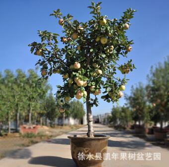 盆栽果树矮化 阳台盆栽果树 盆栽花盆 观赏果树 量大从优