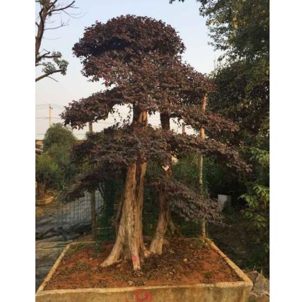 【徐州市水木菁华】古桩盆景绿化苗木