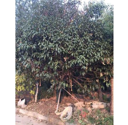 徐州市水木菁华园林绿化古桩盆景苗木花卉