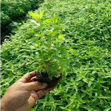 青州基地供应宿根花卉绿化千屈菜 地被绿化植物批发
