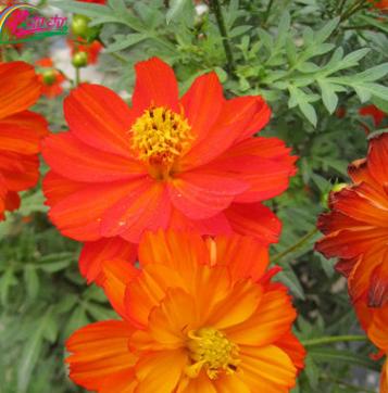 供应优质草本花卉钟籽 阳台硫华菊种子 园艺花卉 庭院观花景观