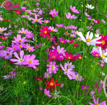 家庭园艺四季高杆波斯菊种子 绿化工程用花草种子 花卉种子批发
