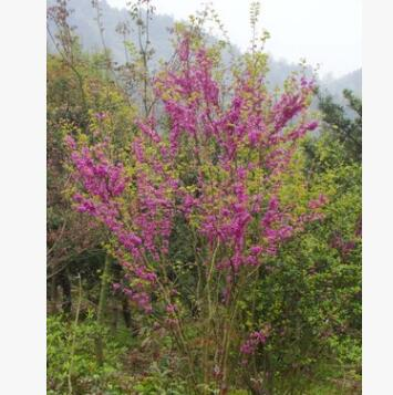 湖南紫荆、丛生紫荆