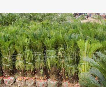 苏铁 园林绿化树 景观树 特需造型树 緑化苗木