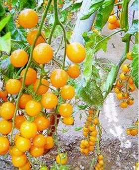 水果种子 黄樱桃番茄种子 圣女果西红柿阳台庭院大田均可种植 2克